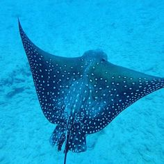 #scuba #stingray #hawaii http://ift.tt/1BXBYcU @hawaiiscubadiving