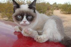 Tarder Sauce The Grumpy Cat as a Kitten. How cute...
