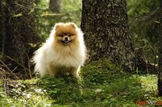 Cheerful, energetic Pomeranian