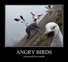 The real Angry Birds