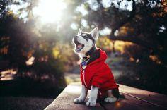 Siberian Husky puppy in a hoodie