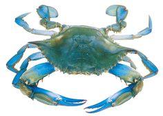 MD blue crab | Blue_crab