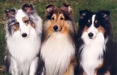 HA! Looks almost like my three boys! (With the exception of the little one on the right, my black and tan doesn't have that much white!)