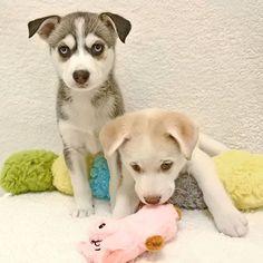 Siberian Husky pups 11/16/17 #siberianhusky