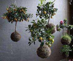 Garden Club - KOKEDAMA - Shady Lane Greenhouses