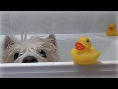 Romeo's Bath Time! ~ Westie · Senior · Dog · Pet · Cute · Funny · Happy · Bathing · Shower - YouTube