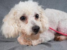 Petango.com – Meet Bashful, a 4 years 4 months Poodle, Miniature available for adoption in COLORADO SPRINGS, CO