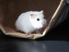 #Repost @kuroham___  . . おはよう . . #ハムスター #ハムスタグラム #ジャンガリアン #パールホワイト #かわいい #癒し #ふわもこ部 #もふもふ #チームげっ歯ラブ #真っ白 # #hamster #hammy #fluffy #petoftheday #cutepetclub #loveypet #my_loving_pet #igcutest_animals #nature_cuties #furrendsupclose #igersjp #hamstergram #OLYMPUSPEN #ファインダー越しの私の世界 . . 2016.12.8  .