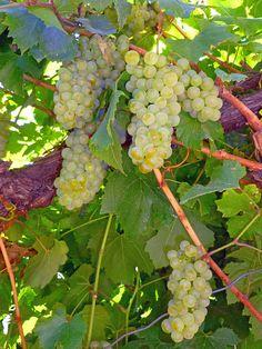 Bitner vineyards, Caldwell, Idaho