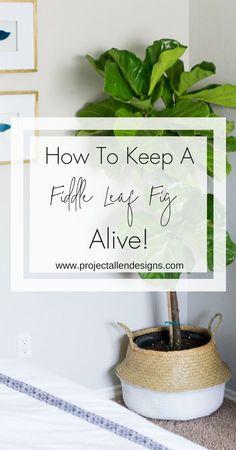 How To Keep A Fiddle Leaf Fig Alive. Fiddle leaf fig care. Fiddle leaf fig watering instructions....