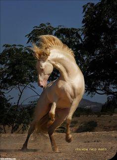 Dünyanın En Güzel Atı: Ahal Teke