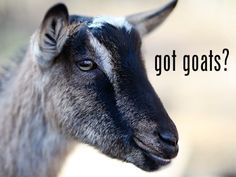 got goats? www.fromscratchmag.com  not yet... but I'd like to. :-)