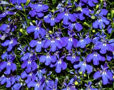 Lobelia is another alternative to impatiens for shade gardens. Lobelia offers beautiful flowers and great color. Photo by André Karwath via Wikimedia Commons.