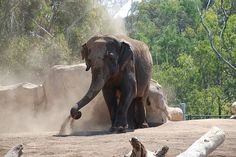 Elephant at the San Diego Zoo splashing himself with water and then some dirt