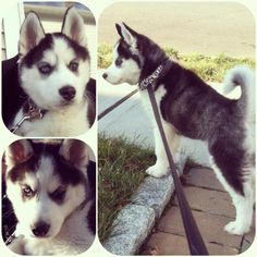 "Happy Tail... ""Wolfe"" is a Siberian Husky puppy that went to his forever home in 2012... he is loving life and growing bigger and bigger by the day!... Thanks Sarah for sending us the pictures!! Enjoy your baby boy"