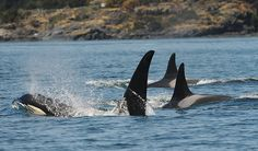 The Center for​ Whale Research is dedicated to the study and conservation of the Southern Resident Killer Whale population in the pacific northwest. Beautiful Fish, Animals Beautiful, Dolphin Family, Life Under The Sea, Apex Predator, Climate Action, San Juan Islands, Water Life, Whales