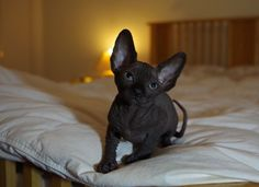 Sphynx (aka Canadian Hairless) cats are a rare type of cat with extremely little fur, or at most a short fuzz over its body, and no whiskers (vibrissae). Description from pinterest.com. I searched for this on bing.com/images