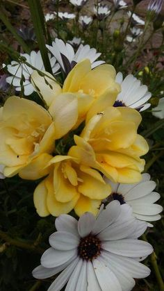 Freesias!!
