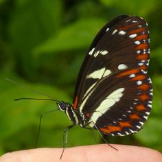 False Zebra Longwing, Heliconius atthis from Ecuador, additional photos at https://www.flickr.com/search/?w=75374522@N06&q=atthis