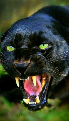 "B-) on Gorgeous black panther. In the words of Ogden Nash: ""If a panther calls, don't anther. In the words of Ogden Nash: ""If a panther calls, don't anther. Nature Animals, Animals And Pets, Cute Animals, Black Animals, Wild Animals, Angry Animals, Fierce Animals, Animals Images, Funny Animals"