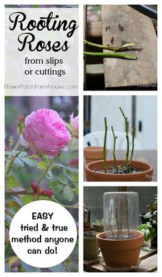 Learn how to root roses from cuttings or slips.  A tried and true method that really works! Easy enough for beginners.  FlowerPatchFarmhouse.com