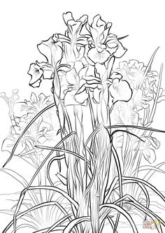 Coloring English Iris Page Free Printable Pages On Coloringcrew Click The
