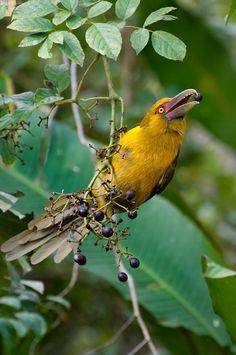Araçari-banana (Pteroglossus bailloni) by Cláudio Timm, via Flickr