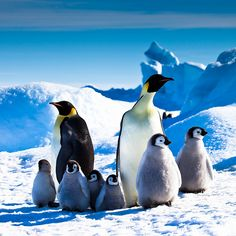 Emperors and Chicks, Snow Hill Island, Antarctica