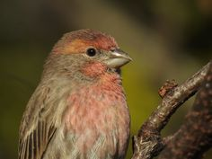 I'm so Pretty House Finch by Ken Groezinger