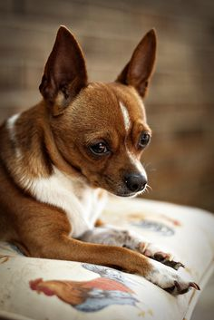 My Chihuahua Lil Bit