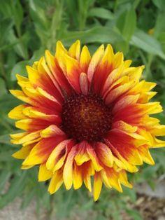 Blanketflower (Gaillardia aristata)