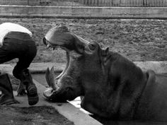Hilda the Humorous Hippo Joking with Zoo Keeper in Phoenix Park Zoo, Dublin, June 1969 - Fotografiskt tryck på AllPosters.se