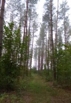 Las koło Olsztyna o poranku