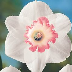 Spring Pride Pink Daffodil, can be found at dutchbulbs.com.