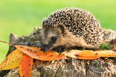 Cute Brown hedgehog in fall autumn