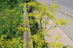 Poisonous plants like wild parsnip could spoil your summer - Gardening for beginners and gardening ideas tips kids Invasive Plants, Poisonous Plants, Poisonous Animals, Growing Parsnips, Wild Parsnip, Pastinaca Sativa, Budget Flowers, Ontario Cottages, Edible Wild Plants