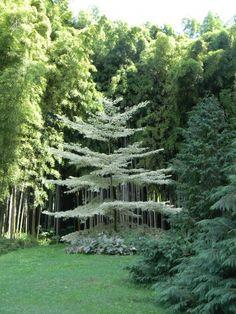 Cornus controversa variegata Deciduous Trees, Trees And Shrubs, Trees To Plant, Moon Garden, Dream Garden, Specimen Trees, Landscaping Trees, Garden Pictures, White Gardens
