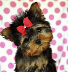 """Figure out even more information on """"yorkshire terrier pups"""". Browse through our internet site. Teacup Yorkie, Teacup Puppies, Cute Puppies, Cute Dogs, Dogs And Puppies, Baby Dogs, Yorkies, Yorkie Puppy, Animals And Pets"""