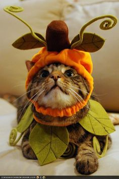 this cat is all dressed up for halloween as a pumpkin!