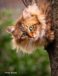 Beautiful green-eyed Maine Coon Kitten