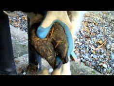 Trimming Llama Toenails - Sundae