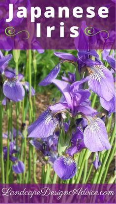 Japanese Iris have many great features. They come back every year, have enchanting flowers, long lasting attractive foliage and are drought tolerant! A winner for sure! Find out about more great purple perennials.