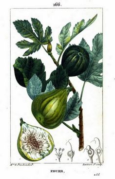 Painting of fig, fig leaves and other fig plant parts, from Flore Médicale, Volume 3, by F.P. Chaumeton, Chamberet et Poiret, illustrated by E.M., illlustrated by E. Panckoucke and P.J.F. Turpin, published by C.L.F. Panckoucke (Paris), 1816 (on Google Books, digitized by Ghent University) https://books.google.com/books?id=sSdUAAAAcAAJ