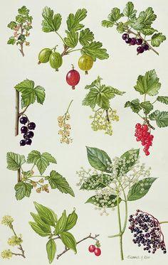 Worcesterberry; Elderberry; Black; White; Red; Cornelian Cherry; Elderflower; Fruit; Leaves; Botanical; Carnelian; Berries; Flower Painting - Currants And Berries by Elizabeth Rice