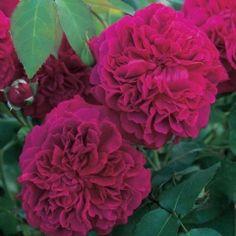 William Shakespeare 2000 - David Austin Roses