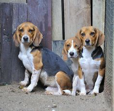 Can bee lick beagles sorry