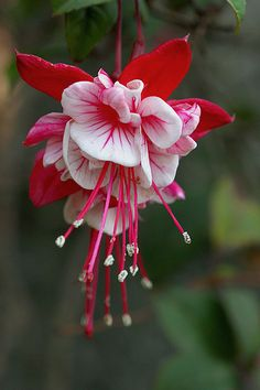Fucsia - my favorite crayon as a child turns out to be an incredibly beautiful flower! That's a happy ending!!