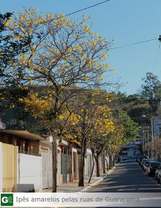 Ipês Amarelos Guararema-SP #guararema #ipesamarelos #guararematem