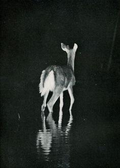 5 George Shiras (1859–1942 American) • Deers