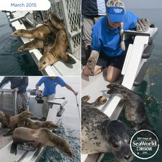 Animal care specialists from many of our parks – even Busch Gardens - joined SeaWorld rescuers to help during the ongoing 2015 Sea Lion Crisis. The teamwork is paying off, and we were able to return more than 20 rescued marine mammals last week, including these adorable pups. #365DaysOfRescue